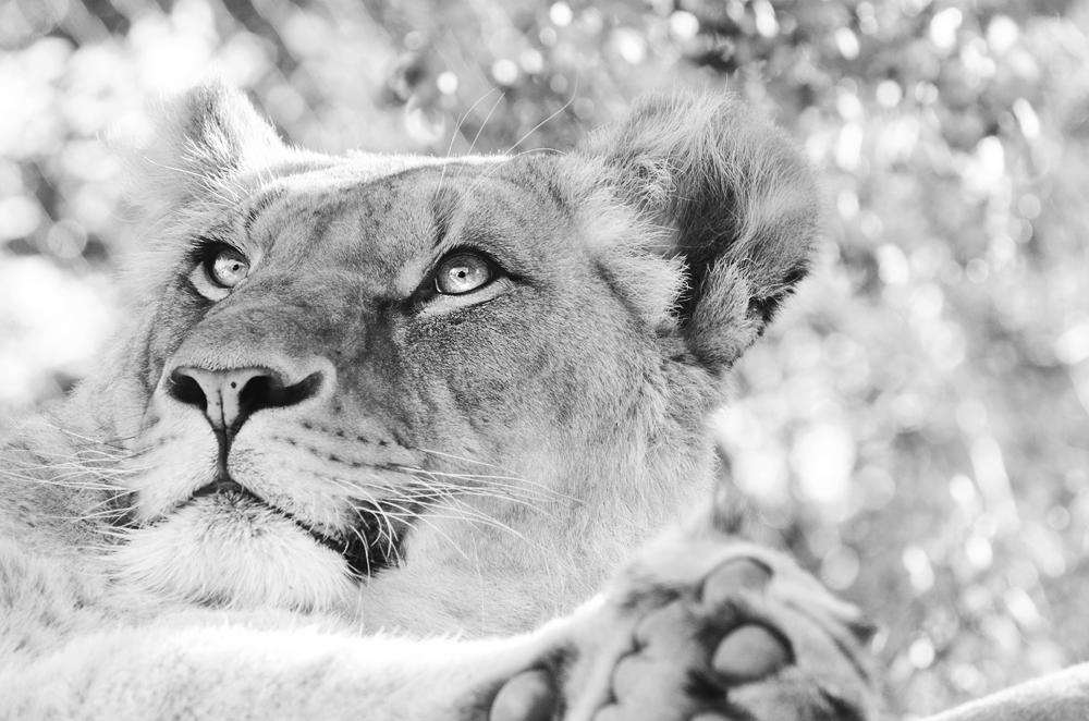 Lion I by werram