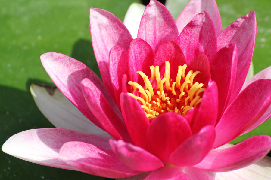 Pink Water Lily by meeks105