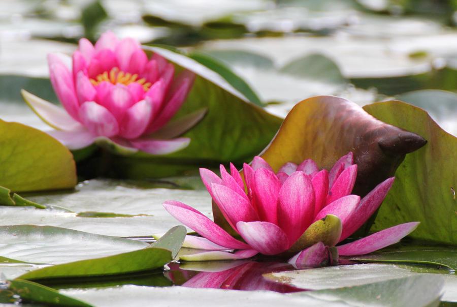 Lily Pond by meeks105