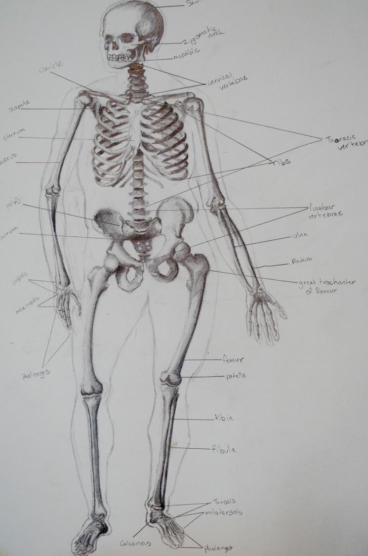 Skeleton by DreamCharley