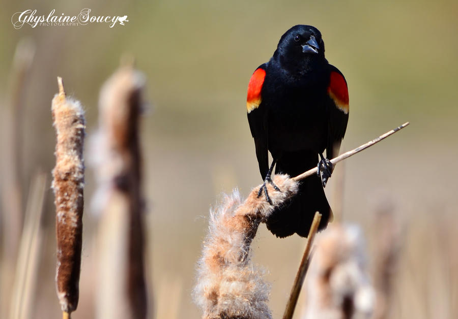Redwinged Blackbird Male by gigi50