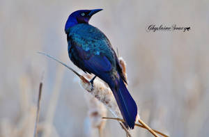 Common Grackle by gigi50