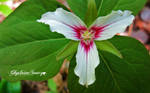 Trillium close up