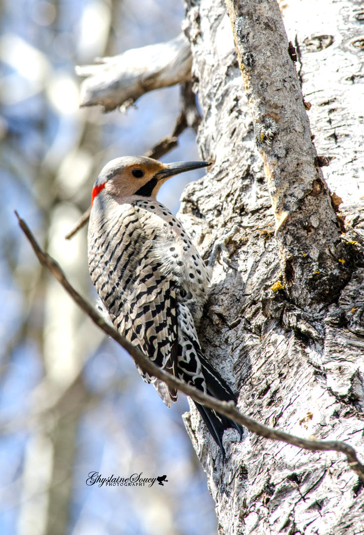 Northern Flicker by gigi50