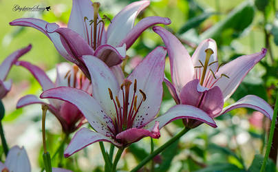 Sweet pink lilies