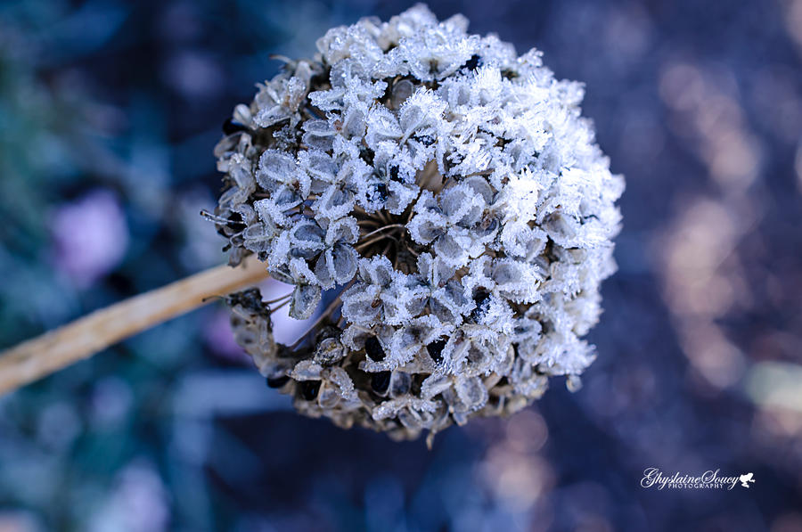 Allium Fancy and Frosted by gigi50