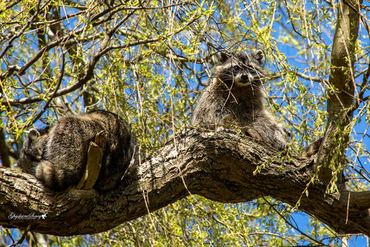 Racoons in tree