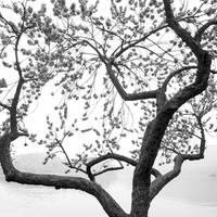 Dancing peach blossom tree