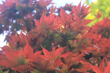 Red Leaves by TheFireofthePhoenix