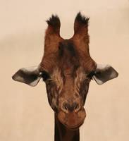 Giraffe by PeterK