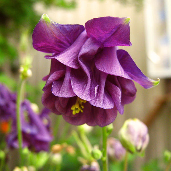 Aquilegia by miss-gardener
