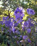 Polemonium by miss-gardener