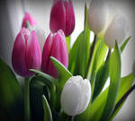 Tulip - spring mood III by miss-gardener