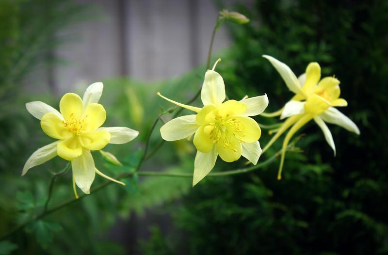 yellow queens by miss-gardener