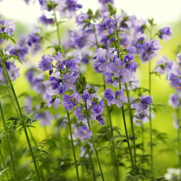 I dream of blue by miss-gardener