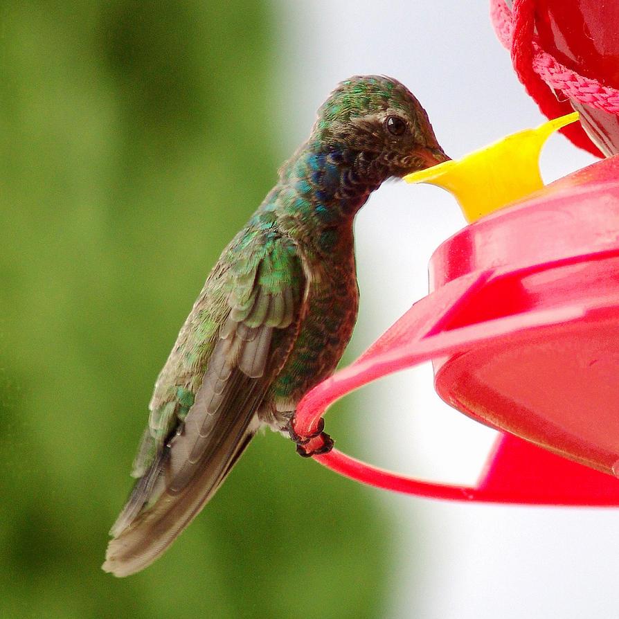 Colibri by dipablo