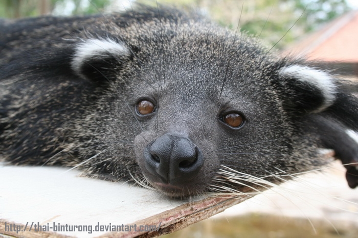 thai-binturong's Profile Picture