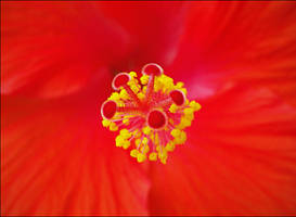 Hibiscus by AForAdultery