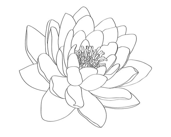 Lily Tattoo Line Drawing : Water lily tattoo design by selective universe on deviantart