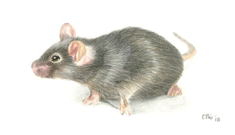 Mouse Colored Pencil by CritterKid