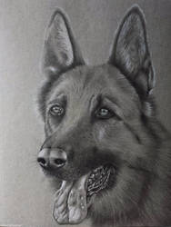 German Shepherd Portrait by cloudofcaesar