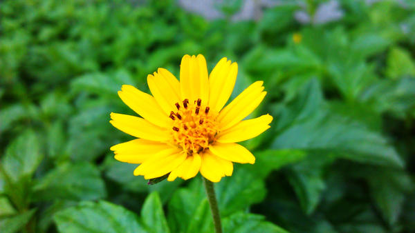 Lone Flower by akasagiphan