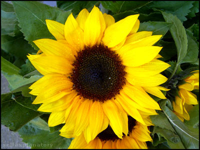 Sunflower by selfexplanatory