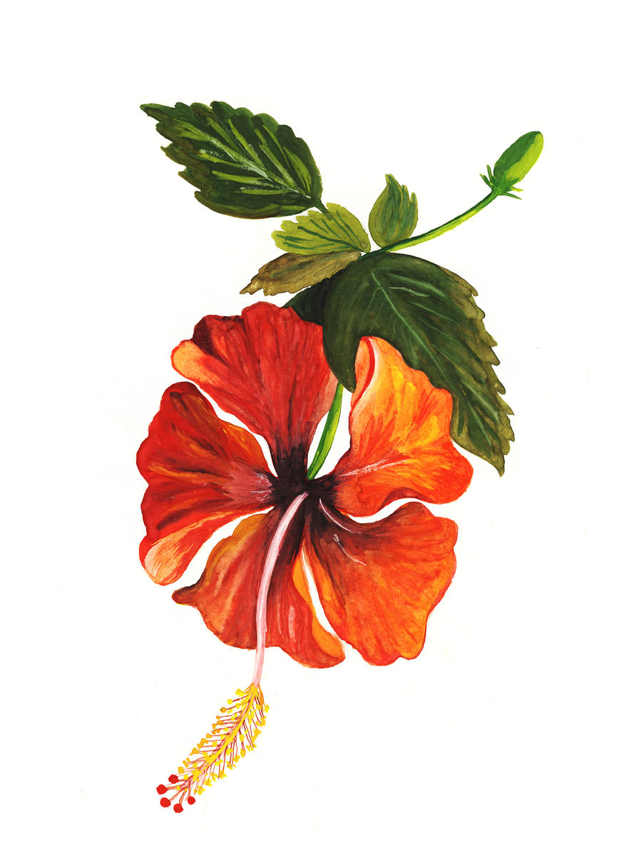 Shoe Flower Line Drawing : Hibiscus shoe flower by sanjayorange on deviantart