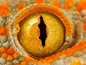Eye Of A Tokay Gecko