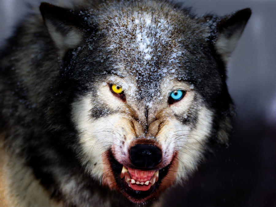 hell wolf by vampireassassin1444 -#main