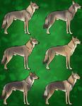 Czechoslovakian Wolfdog Imports | 1/6