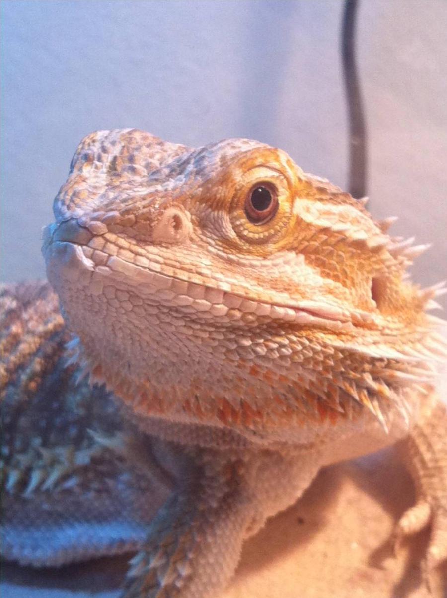 My bearded Dragon by Wolf-Girl-Arsanella on DeviantArt
