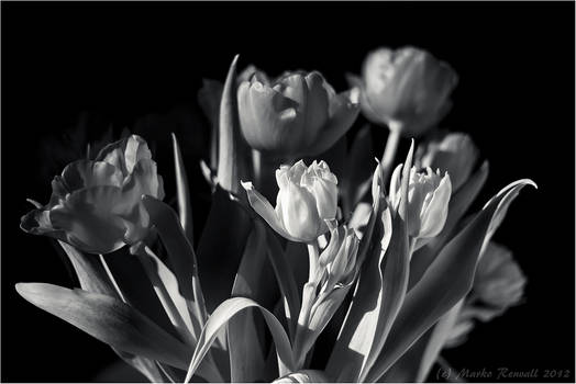 Colorless Tulips