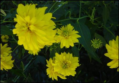 Pride Of Yellow