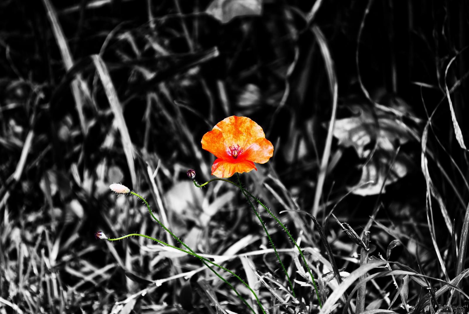 Color Splash Poppy by LeWelsch