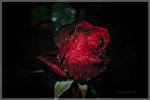 Red rose by izoard781