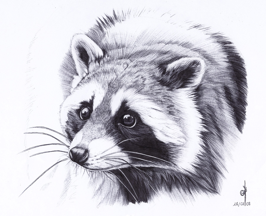 . Raccoon . by Maiwenn on DeviantArt Raccoon Drawing