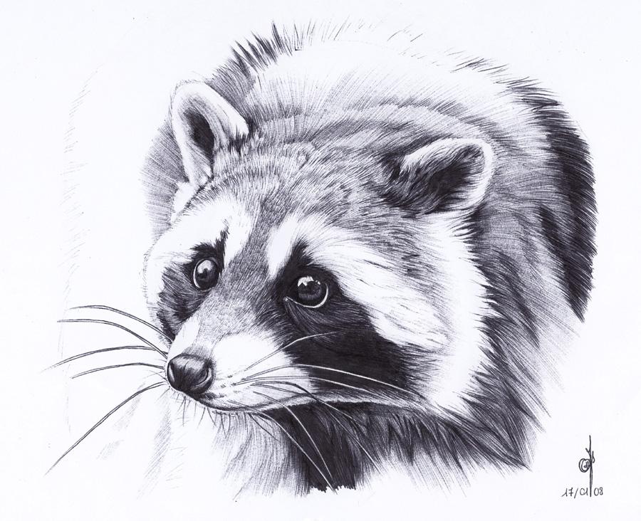 . Raccoon . by Maiwenn on DeviantArt Raccoon Drawing