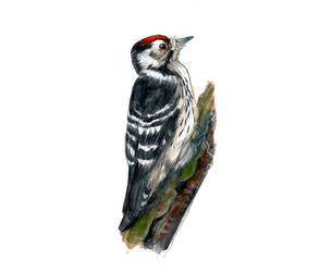 Lesser spotted Woodpecker by Maiwenn