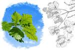 Oak sketches by Maiwenn