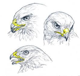 Sketch - Common buzzard