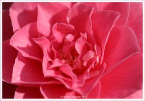 Pink by MushroomMagic