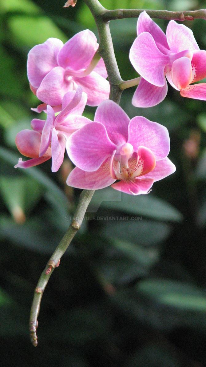 Orchids 6 by tru-wulf