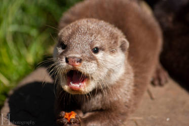 Otter Pup by Sato-photography