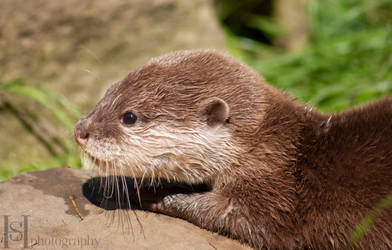 Otter Pup III by Sato-photography