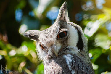 European White Faced Owl by Sato-photography