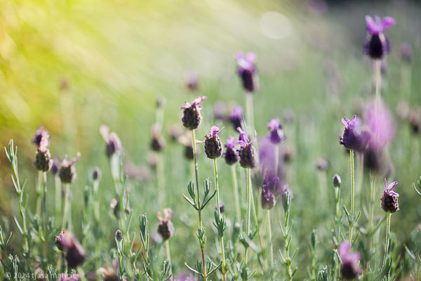 lavender summer by tjasa