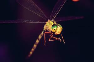 Dragonfly Flies
