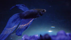 My Betta, Pepsi Max by BeppasCreations