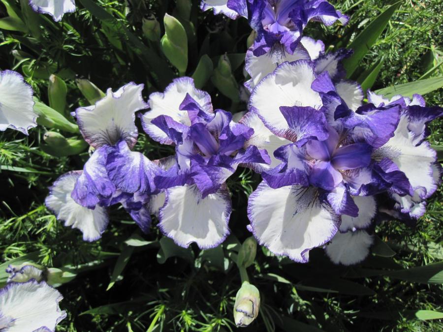 Iris by r-a-i-n-y